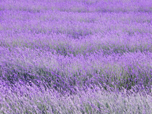 Lavender in bloom.