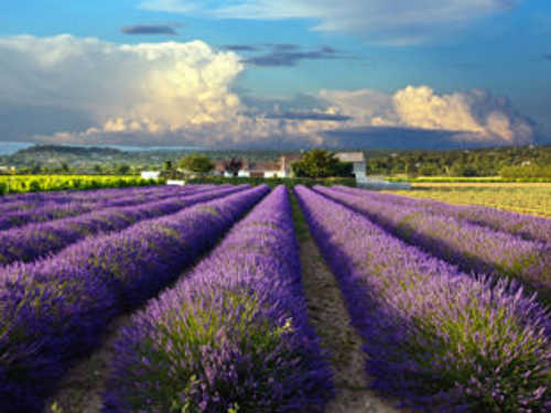 Lavender field in bloom.