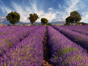 Provence cycling tours - Biking through lavender fields.