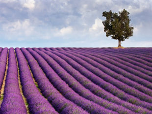 Cycling in Provence, France - the famous Provence lavender fields.
