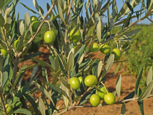 Olive tree close-up.