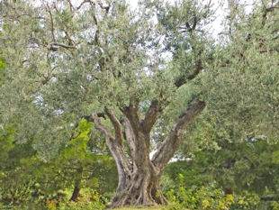An old olive tree.